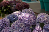 Hortensias lilas - Lisse, Pays-Bas