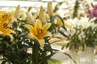 Fleurs de lys jaunes - Lisse, Pays-Bas