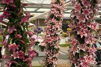Arcade de fleurs de lys bicolores - Lisse, Pays-Bas