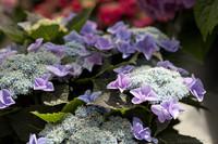 Boutons et fleurs hortensias lilas - Lisse, Pays-Bas