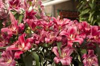 Fleurs de lys rose foncé - Lisse, Pays-Bas