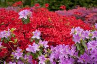 Flores lilas y rojas - Lisse, Países Bajos