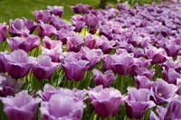 Tulipanes morados con flecos - Lisse, Países Bajos