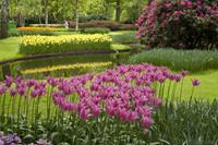 Tulipanes flor de lirio púrpura-rosados - Lisse, Países Bajos