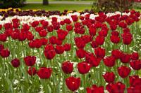 Tulipa Île-de-France - Lisse, Países Bajos