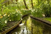 Pato doméstico en un pequeño canal de Keukenhof - Lisse, Países Bajos
