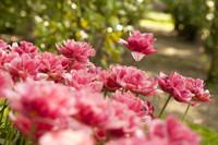 Tulipanes dobles rosados - Lisse, Países Bajos