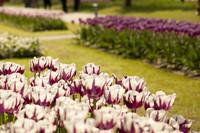 Tulipanes bicolor blancos y violetas - Lisse, Países Bajos