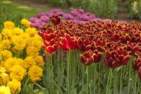 Tulipanes rojo-anaranjados y Monte Carlo - Lisse, Países Bajos