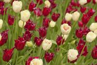 Tulipanes rojos y tulipanes blancos con flecos - Lisse, Países Bajos