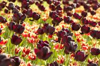 Tulipanes Reina de Noche - Lisle, Países Bajos