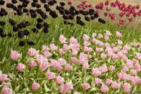Tulipán Simple Tardío - Lisle, Países Bajos
