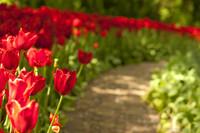 Camino de Keukenhof bordeado de tulipanes rojos - Lisse, Países Bajos
