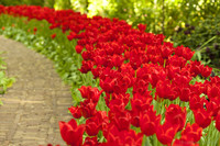 Macizo de tulipanes rojos - Lisse, Países Bajos
