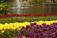 Tulipanes amarillos, púrpuras y rojos junto al lago de Keukenhof - Lisse, Países Bajos