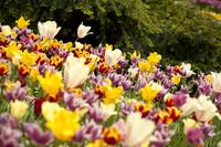 Tulipanes de múltiples colores - Lisse, Países Bajos