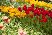 Tulipanes rojos y amarillo-anaranjados - Lisse, Países Bajos