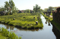 Sheep grazing next to a canal in Zaanse Schans - Zaandam, Netherlands