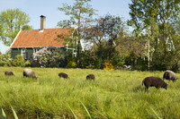 Sheep grazing in one of the meadows of Zaanse Schans - Zaandam, Netherlands